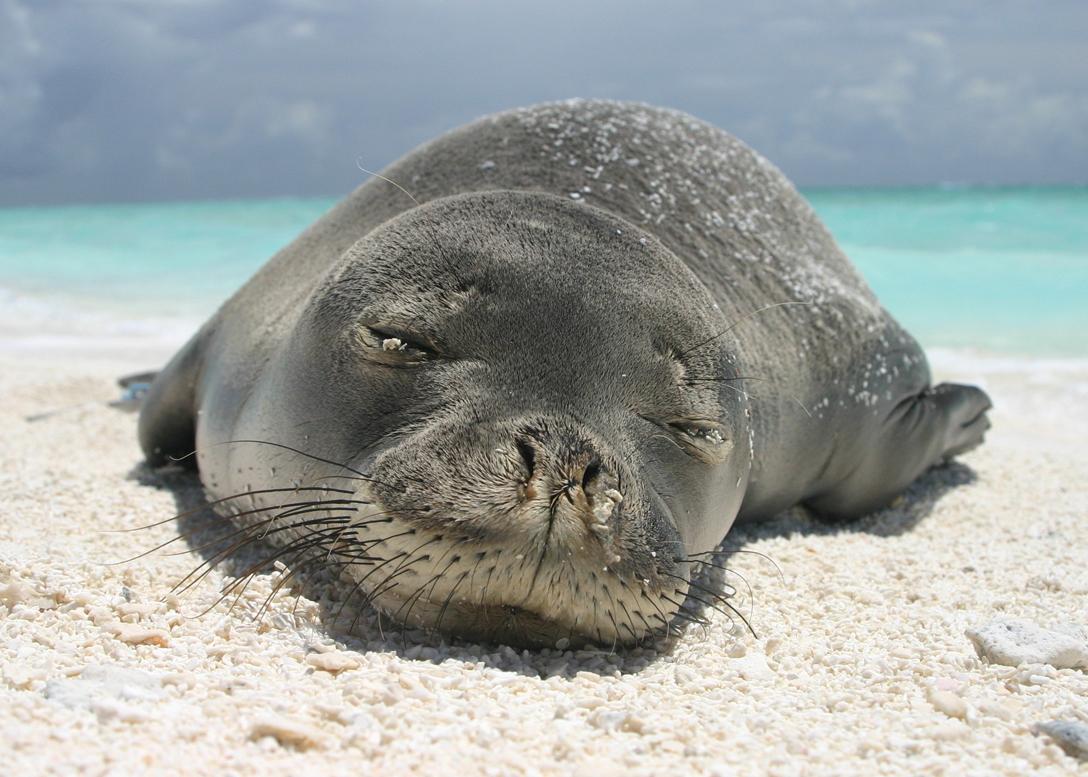 How To Protect the Hawaiian Monk Seals | Hawaii Resorts ...